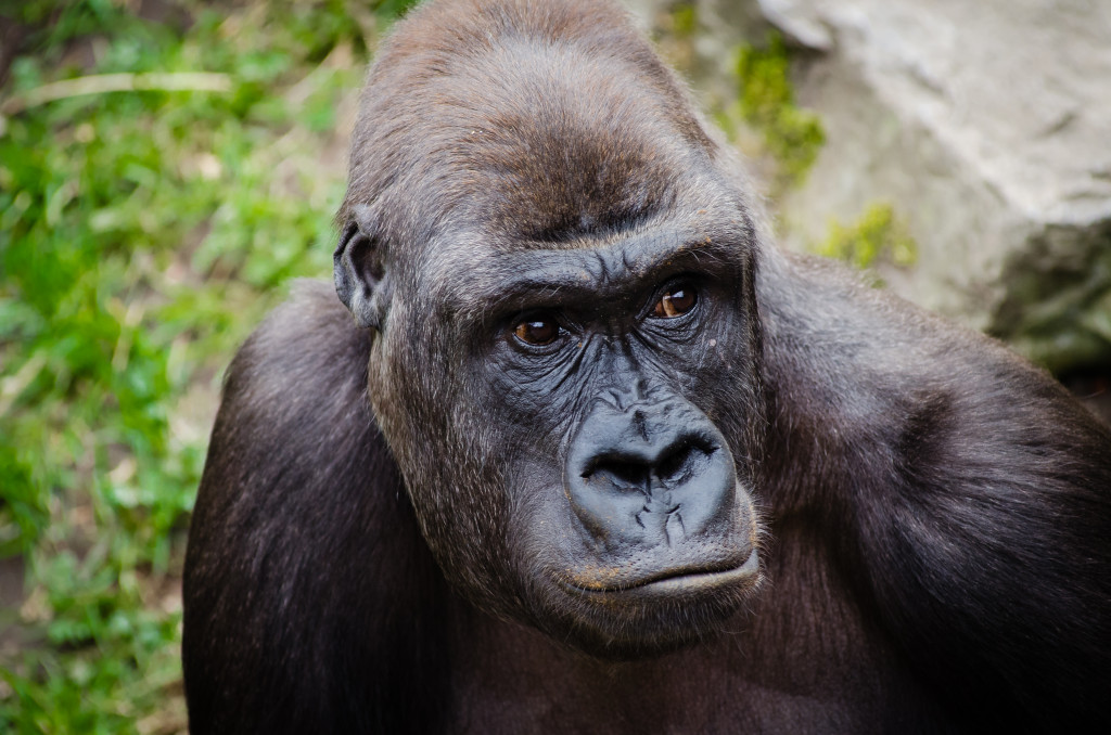 "'Happy to be here?' 'Gorilla' by Matthias Appel,"" CC BY"